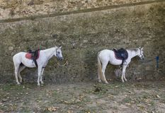 2 лошади связали на стене в Lastra Signa стоковое изображение rf