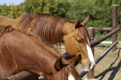 лошади семьи Стоковые Изображения