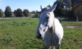 Лошади стабилизированные для лошадей стоковые изображения