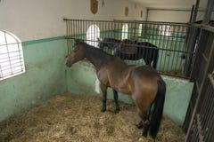 лошади стабилизированные Стоковые Изображения RF