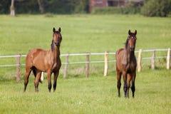 2 лошади стоят на луге Стоковое Изображение RF