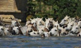 лошади табуна camargue стоковое изображение
