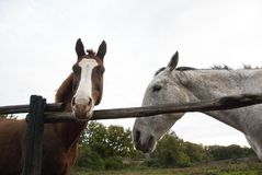 2 лошади, 2 цвета стоковая фотография rf