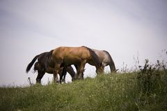 лошади Стоковое Изображение RF
