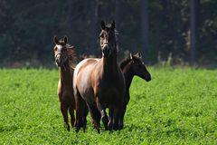 лошади 3 Стоковые Изображения