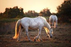 2 лошади camargue свободных белых Стоковые Изображения RF