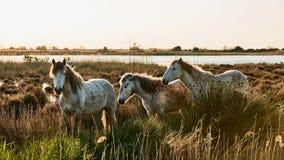 3 лошади Camargue Стоковые Изображения RF