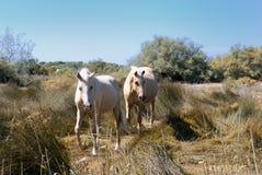 лошади camargue стоковая фотография rf