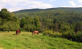 лошади icelandic стоковые фото