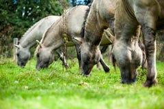 Лошади Konik Стоковое Фото