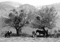 Лошади Mauntain Стоковая Фотография