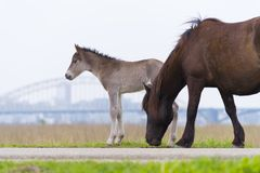 Лошади Przewalski с осленком Стоковое Изображение RF