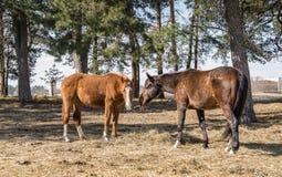 Лошади Twain красивые 2 лошади пасут в луге стоковые фотографии rf