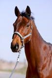 лошадь больше красного цвета портрета чем стоковое фото