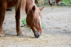 Лошадь Брайна ест много солому стоковые изображения rf