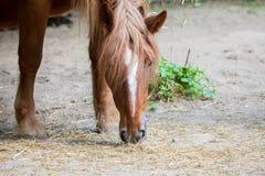 Лошадь Брайна ест много солому стоковая фотография