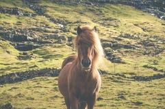 Лошадь Брайна исландская стоя на злаковике в Фарерских островах Стоковое Фото