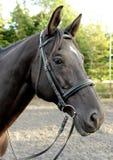Лошадь Брайна с маркировкой звезды Стоковая Фотография RF
