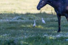 Лошадь Брайна с 2 Egrets Стоковое Изображение