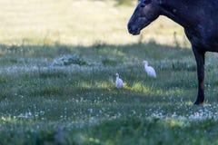 Лошадь Брайна с 2 Egrets Стоковое Изображение RF
