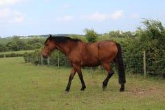Лошадь Брауна в greeny саде стоковая фотография