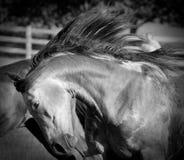 лошадь вдохновенная Стоковые Изображения RF