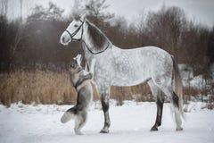 Лошадь водит собаку уздечкой Рысак и житель Аляски Orlovskiy стоковые изображения rf