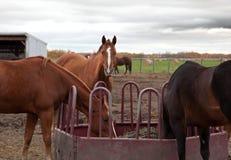Лошадь вытаращить на вас Стоковое Изображение RF