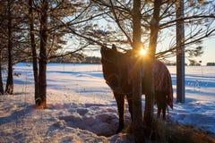 лошадь вытягивая зиму саней Старый переход зимы стоковые изображения