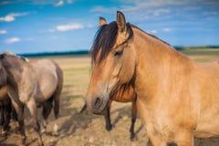 Лошадь в выгоне бежевого цвета Стоковая Фотография RF