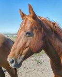 Лошадь в выгоне Стоковые Изображения RF