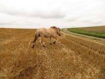 Лошадь в одичалом на пасти стоковая фотография rf