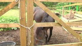 Лошадь в ручке фермы на солнечный день сток-видео