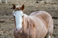 Лошадь в своем пальто зимы смотрящ камеру Стоковая Фотография