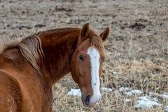 Лошадь в своем shaggy пальто зимы смотрящ камеру Стоковые Изображения