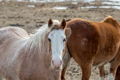 Лошадь в своем shaggy пальто зимы смотрящ камеру Стоковое фото RF