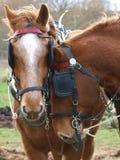 Лошадь в съемках головки проводки Стоковые Фото