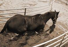 Лошадь в ходоке aqua Стоковые Изображения RF