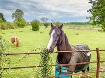 Лошадь в paddock в сельской местности рассматривая загородка Стоковая Фотография RF