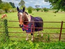 Лошадь в paddock в сельской местности рассматривая загородка Стоковое Изображение RF