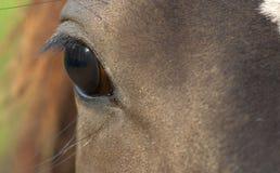 лошадь глаза Стоковая Фотография RF