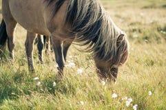 Лошадь есть траву, пася на луге Стоковые Изображения RF