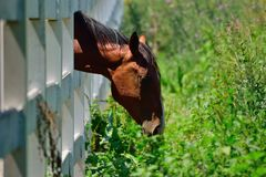 Лошадь есть траву через белую загородку стоковые изображения rf