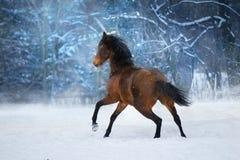 Лошадь залива в движении стоковое фото