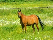 Лошадь залива в поле маргариток в Суррей Стоковая Фотография