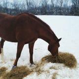 Лошадь залива есть сено в снеге Стоковые Изображения RF