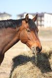 Лошадь залива есть сено на сельской местности Стоковые Изображения