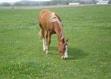 Лошадь залива есть траву Стоковое Фото