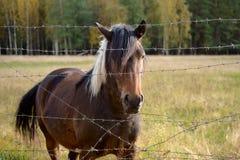 Лошадь залива за загородкой Стоковые Фотографии RF