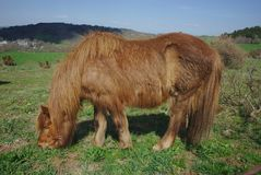 Лошадь залива при длинные волосы, пася стоковая фотография